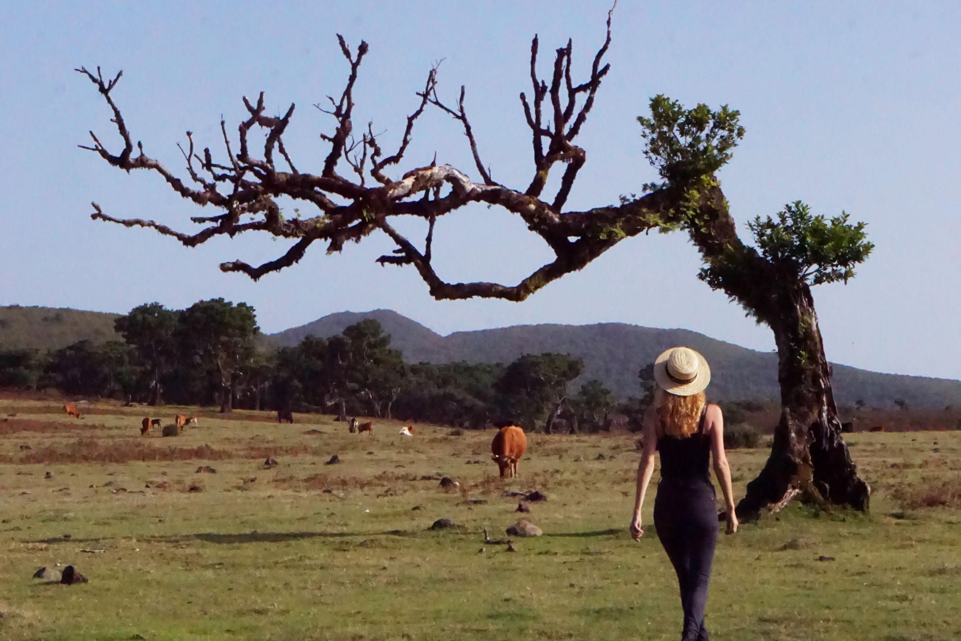 Laurel tree madeira